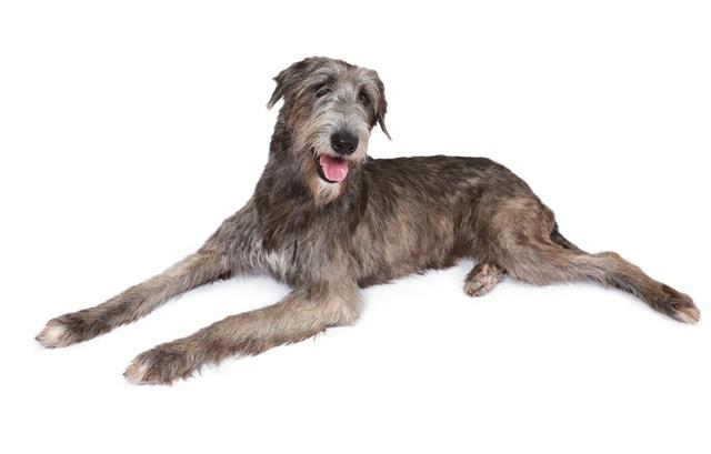 IrishWolfhound01