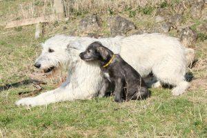 IrishWolfhound02
