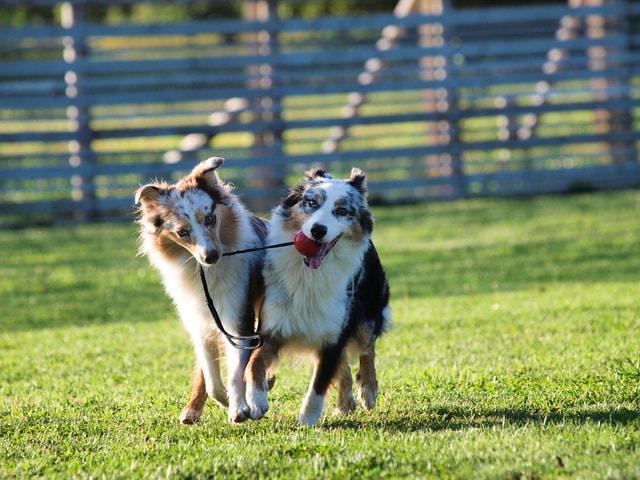Image result for Australian Shepherd  犬  悲しい